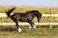 Raza ucraniana del caballo del semental Imágenes de archivo libres de regalías