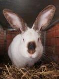 Razas californianas del conejo Imágenes de archivo libres de regalías