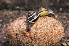 Razas de los caracoles rayados Imagen de archivo