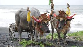 """Razas del búfalo del †de Makepung """" Una tradición cultural almacen de video"""