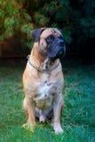 Razas raras del perro Retrato del primer de una raza hermosa Boerboel surafricano del perro en el fondo verde y ambarino de la hi Fotografía de archivo
