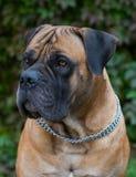 Razas raras del perro Retrato del primer de una raza hermosa Boerboel surafricano del perro en el fondo verde y ambarino de la hi Fotos de archivo libres de regalías