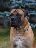 Razas raras del perro Retrato del primer de una raza hermosa Boerboel surafricano del perro en el fondo verde y ambarino de la hi Fotografía de archivo libre de regalías