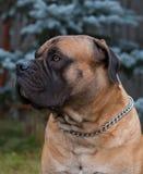 Razas raras del perro Retrato del primer de una raza hermosa Boerboel surafricano del perro en el fondo verde y ambarino de la hi Fotos de archivo