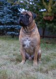 Razas raras del perro Retrato del primer de una raza hermosa Boerboel surafricano del perro en el fondo verde y ambarino de la hi Imagen de archivo