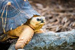 Razor-Backed Musk Turtle Sternotherus carinatus Kinosternidae Stock Photo