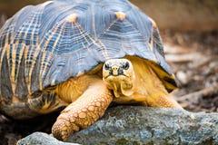 Razor-Backed Musk Turtle Sternotherus carinatus Kinosternidae Royalty Free Stock Image