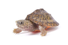 Razor-backed musk turtle ,Sternotherus carinatus,. The razor-backed musk turtle ,Sternotherus carinatus, is a small, feisty, turtle species found in the southern Stock Images