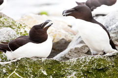 Razor-Billed Auks Stock Photography