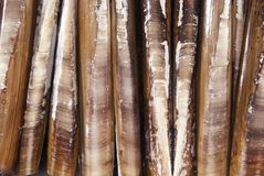 Razor Fish Shells Stock Image