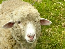 Razor sheep. Royalty Free Stock Photos