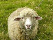 Razor sheep. Royalty Free Stock Photo