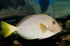 Razor Surgeonfish Royalty Free Stock Image