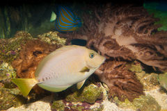Razor Surgeonfish in Aquarium Stock Photo