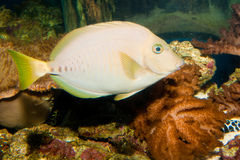 Razor Surgeonfish in Aquarium Stock Photos