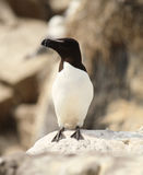Razorbill Stock Photos