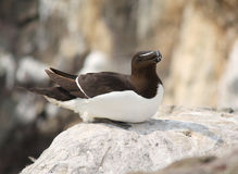 Razorbill Stock Photo