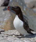 Razorbill Royalty Free Stock Photos