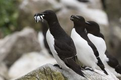 Free Razorbill Alca Torda Adult, With Fish On Rock Looking Over The Ocean Stock Photography - 120956252
