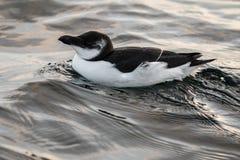 Razorbill, Alca torda, black and white bird lying in the sea royalty free stock photos