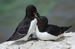 The razorbill Alca torda royalty free stock photos