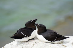 The razorbill Alca torda stock image