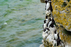 The razorbill Alca torda and the common murre or common guillemot stock photography