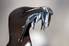 Razorbill (Alca torda) with sandeels. A close up portrait shot of a Razorbill carrying a mouthful of sandeels stock photo