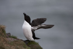 Razorbill At Fowlsheugh Royalty Free Stock Images
