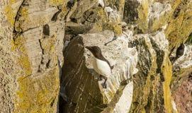 Razorbill bird Stock Photography