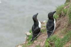 Razorbill Royalty Free Stock Photo