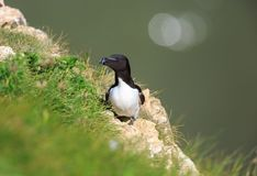 A Razorbill on a cliff edge royalty free stock image