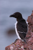 Razorbill on Cliff Top. A Razorbill sits on the edge of a cliff top breeding colony on Skokholm Island Stock Photography