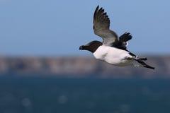 Razorbill en vuelo con el fondo de la isla de Skomer Imágenes de archivo libres de regalías