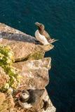Razorbill fågel och lunnefågelfågel Arkivfoto