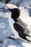 Razorbill at the Farne Islands royalty free stock images