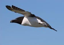 Razorbill in flight 3. Razorbill in flight over the cliffs of Skokholm Island Stock Images