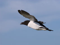 Razorbill in flight 4 stock images