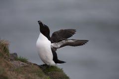Razorbill at Fowlsheugh. Bird Reserve, Aberdeen Royalty Free Stock Images