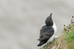 Razorbill Royalty Free Stock Image