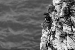 Razorbill, looking out to sea stock images