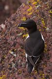 Razorbill on lychen coverd cliff ledge. A  Razorbill sits on the edge of a cliff top breeding colony on Skokholm Island Royalty Free Stock Photos