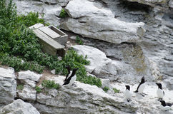 The razorbill and a nest box royalty free stock photos