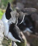 Razorbill på den Latrabjarg seabirdklippan Arkivbild