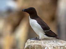 Razorbill perched on rock Royalty Free Stock Image