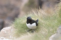 Razorbill portrait fishing nesting. Razorbill portrait, close up fishing nesting Stock Image