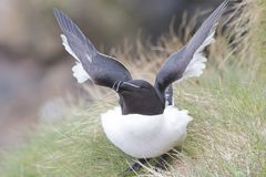 Razorbill portrait fishing nesting stock image