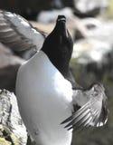 Razorbill przy Latrabjarg seabird falezą Fotografia Royalty Free