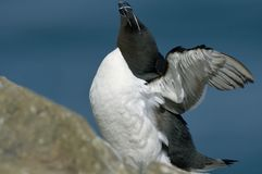 Razorbill or Razor-billed Auk Royalty Free Stock Photo