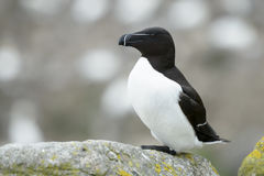 Razorbill on rock of coastal cliff Stock Image